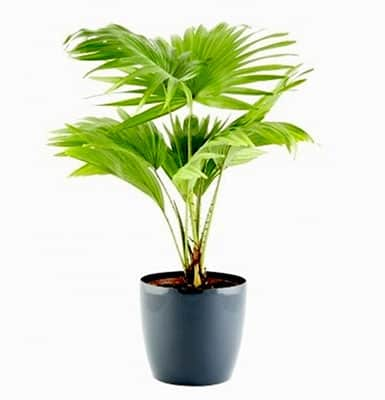Table Palm/Umbrella Palm Plant
