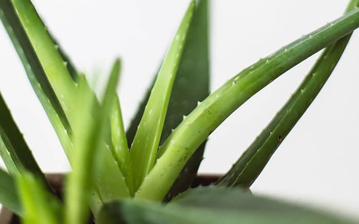 Air Purifying Aloe Vera