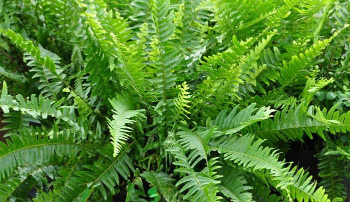 Boston Fern Air Purifying Plant