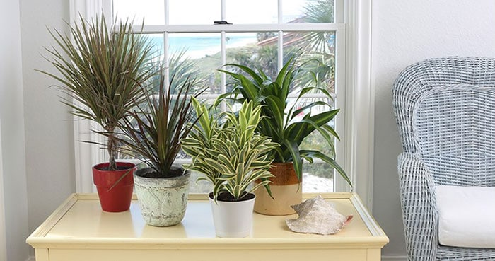Air Purifying Dracaena Plant