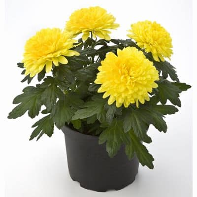 Air Purifying Pot Mum Plant